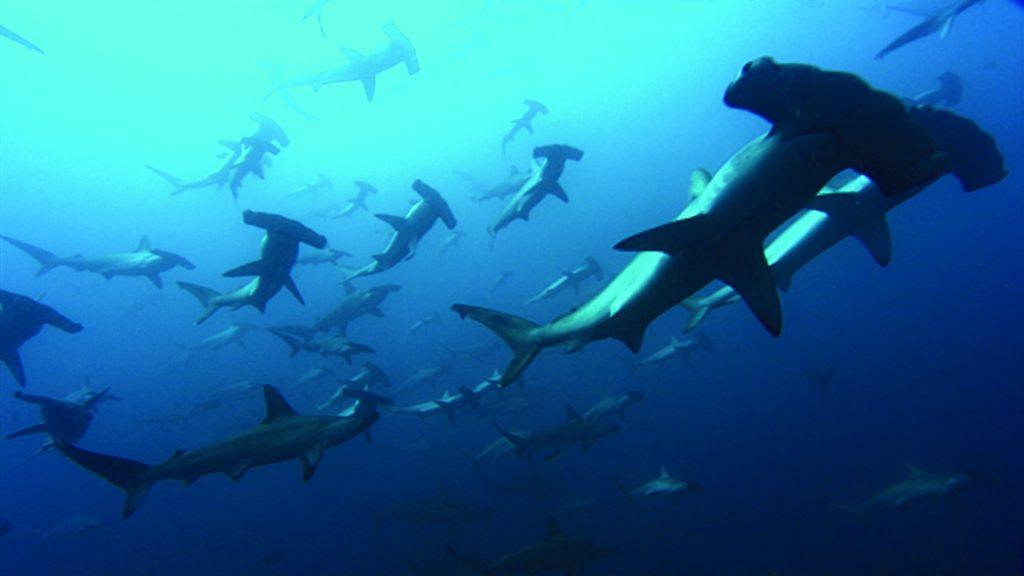 bs-md-fenwick-shark-20150623