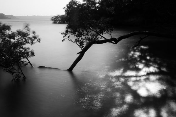 High tide submerges the branch of a Mangrove tree. One of the oldest at the creek. Biko Wesa, Kenya. 2018.